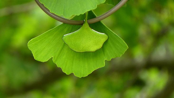 GINKGO – voyage botanique